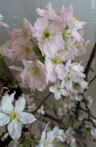 啓翁桜02