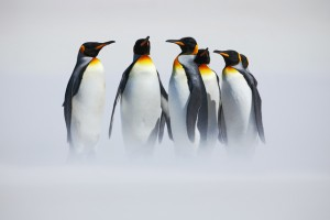 Group of penguin. Group of six King penguins, Aptenodytes patagonicus, going from white snow to sea in Falkland Islands. Penguins in the snow. Group of penguins in the Antartica. Cold winter scene.