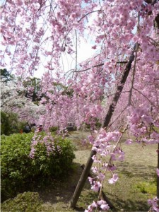 P1050869_しだれ桜